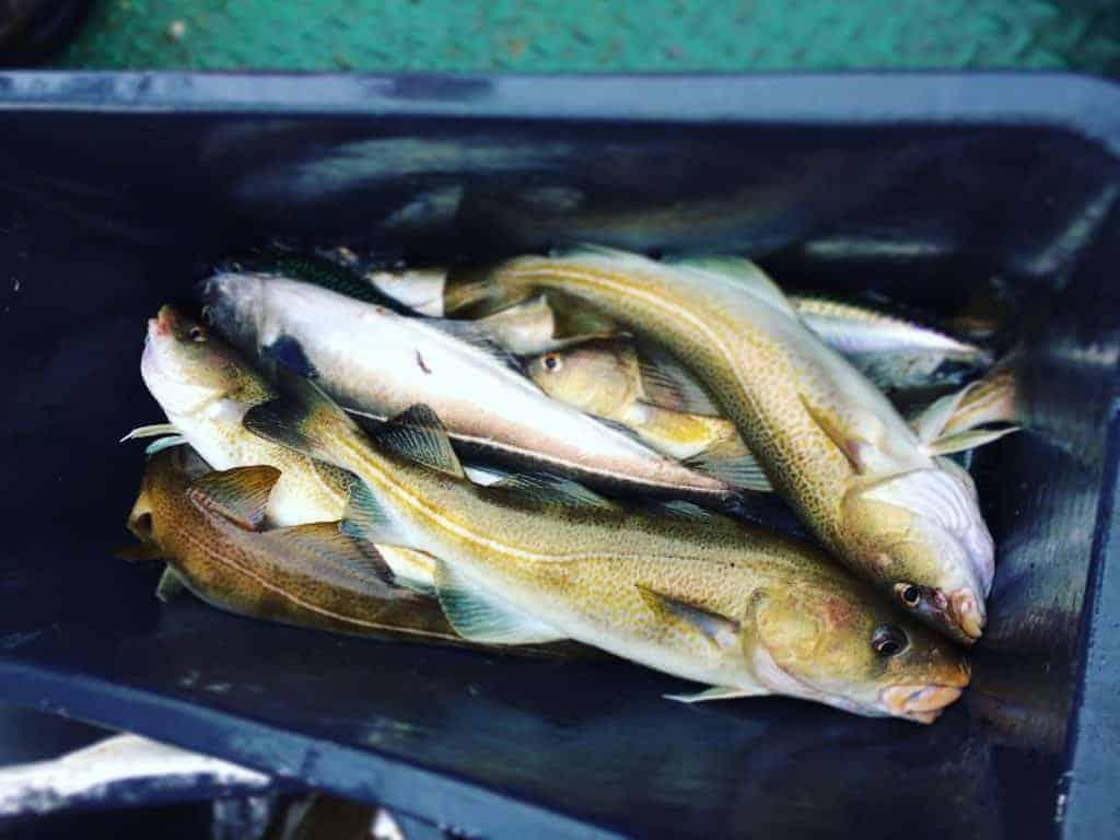 pilke hanstholm torsk