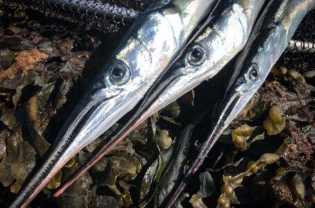 Fiskeri efter hornfisk – Her fanger du dem