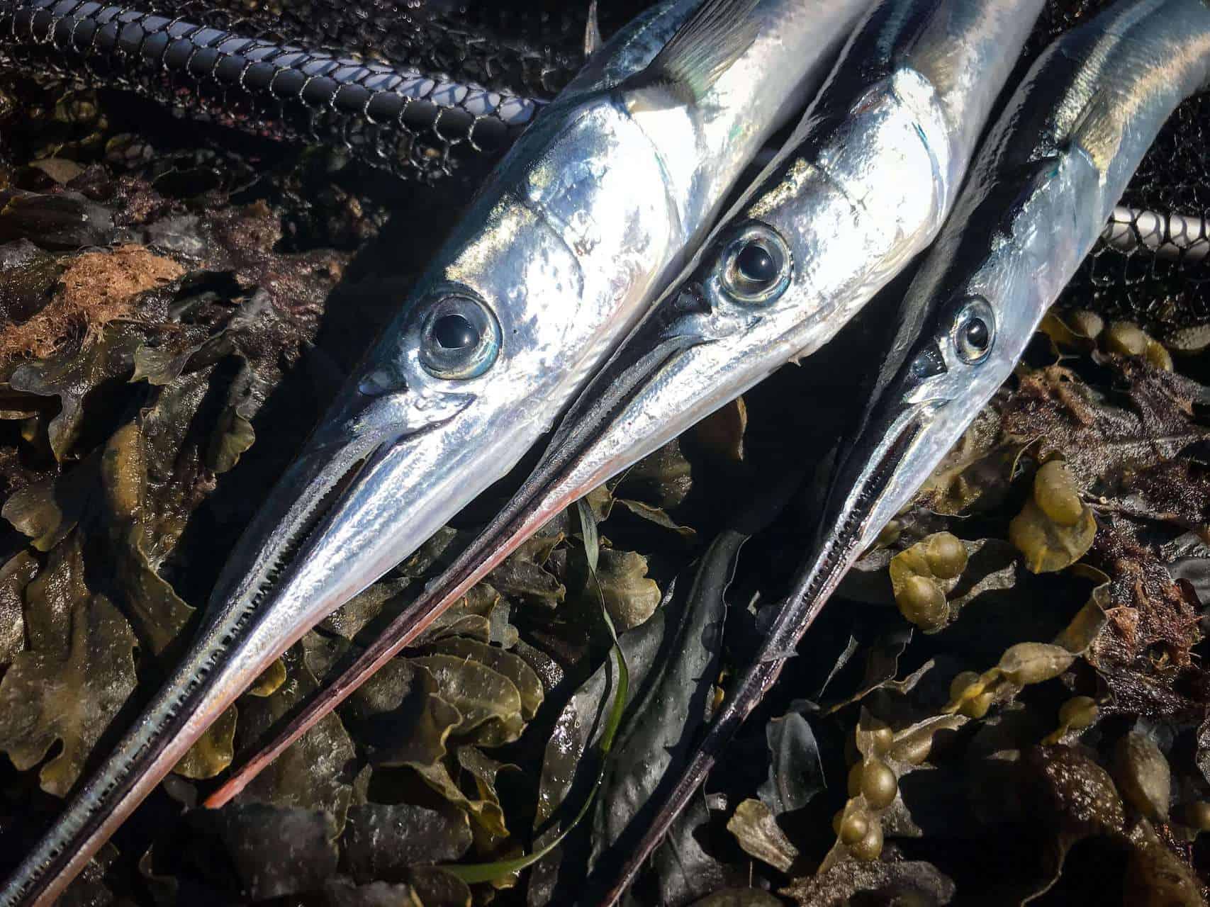 Fiskeri efter hornfisk sæson 2020