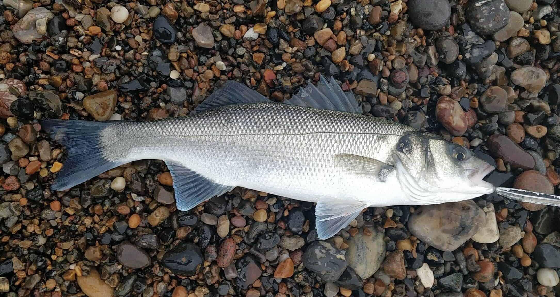 Fiskeri efter Havbars – Her finder du dem!