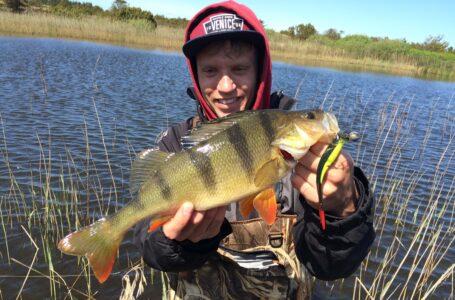 Aborrefiskeri – Sådan fanger du Aborre