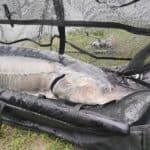 Størfiskeri afkrogningsmåtte