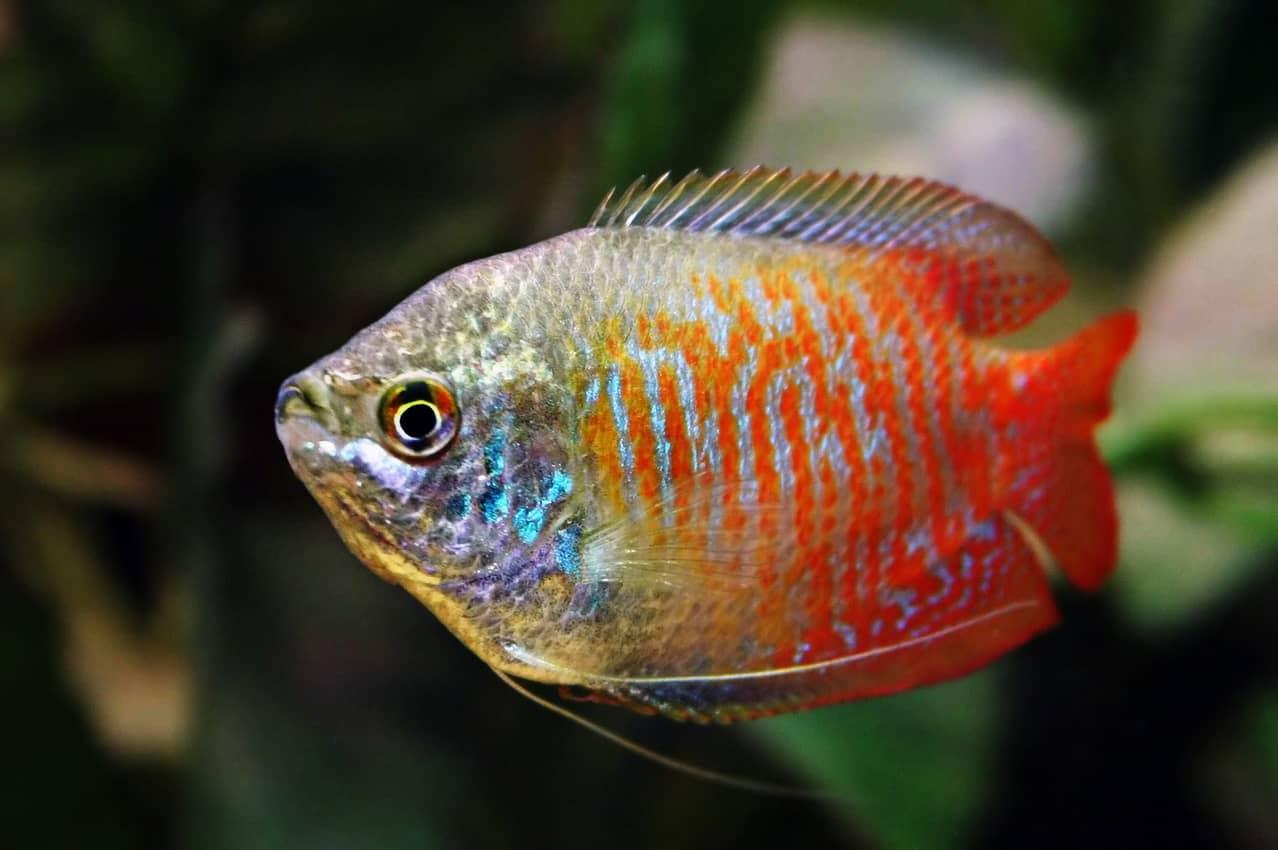 Akvariefisk Akvarie